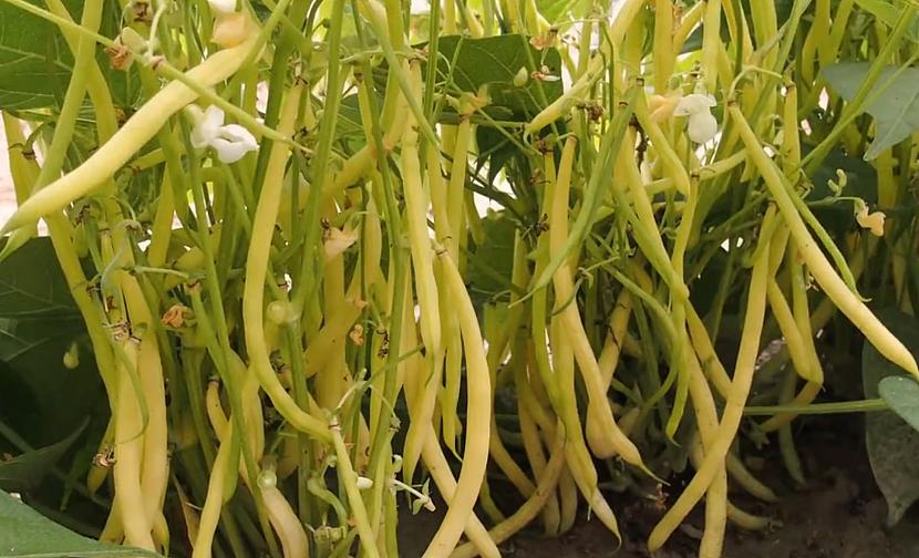 Pěstování fazole