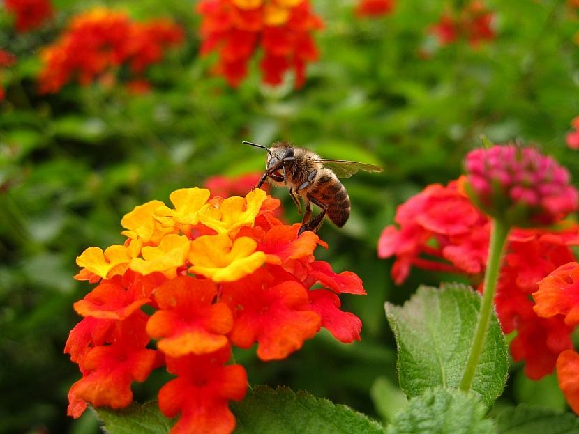 Včelkami oblíbená libora