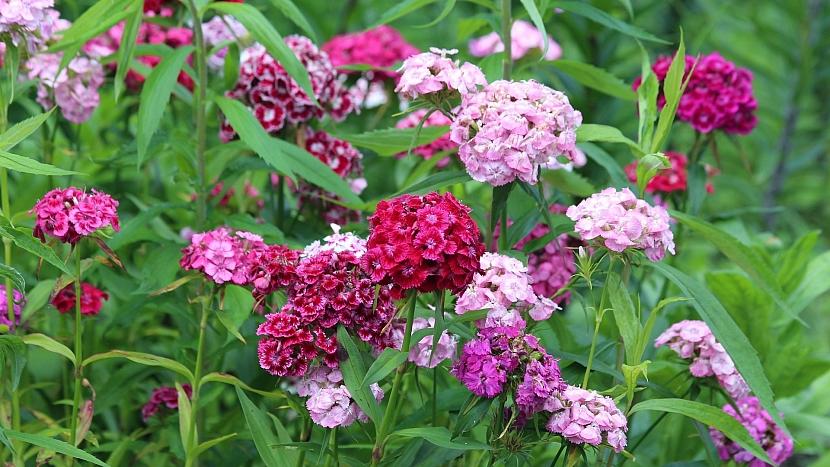 Předpověď počasí a zahrada: o víkendu doporučujeme vysévat hvozdík (Dianthus)