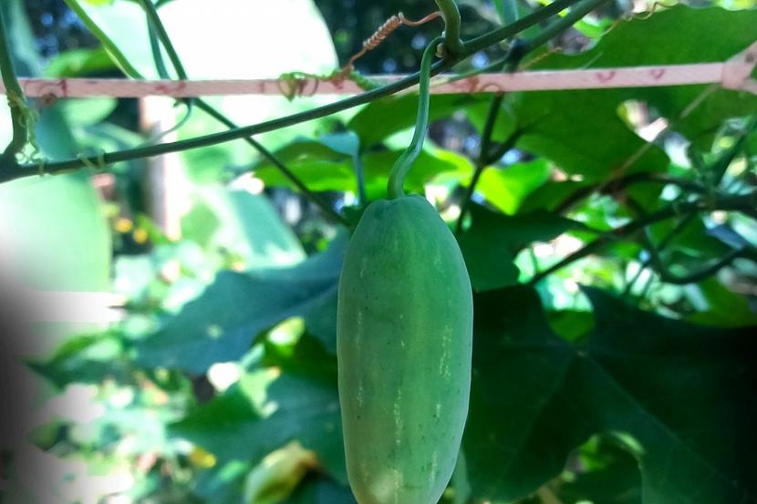 Jak pěstovat ačokču