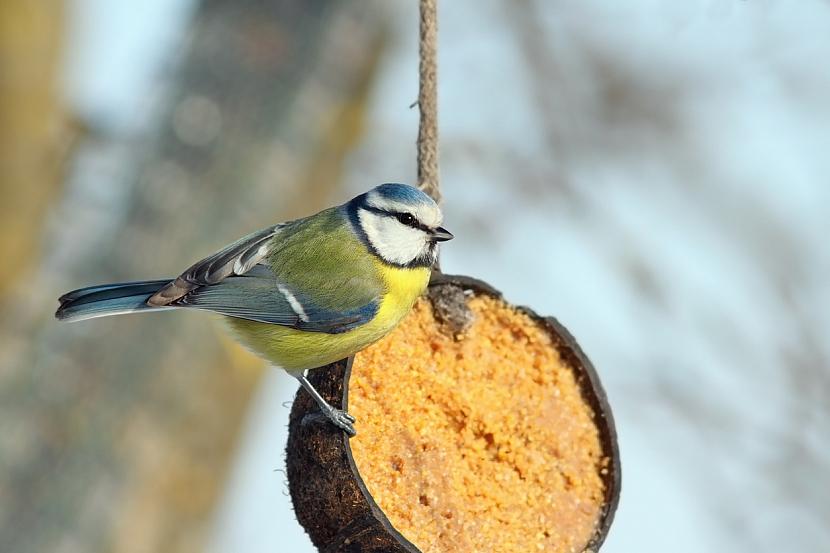 Krmítka pro ptáky: krmítko z kokosového ořechu