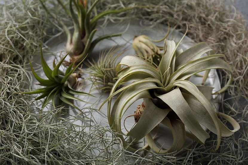 Vzdušné rostliny patří mezi poměrně nenáročné rostliny, nicméně i přes tuto skutečnost přece jen nějakou péči potřebují