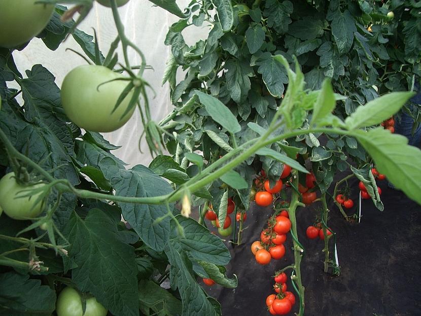 Prorůstání vijanu u rajčat