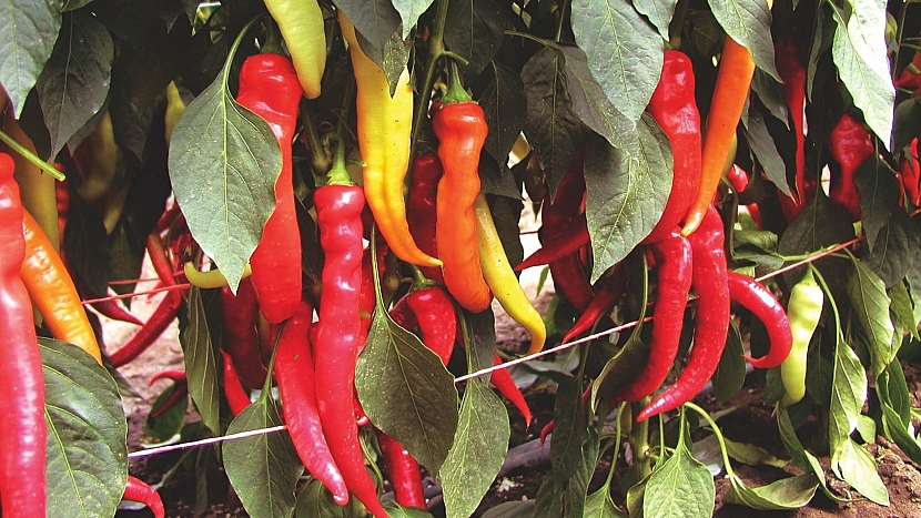 Paprika roční (Capsicum annuum): odrůda Pálivec