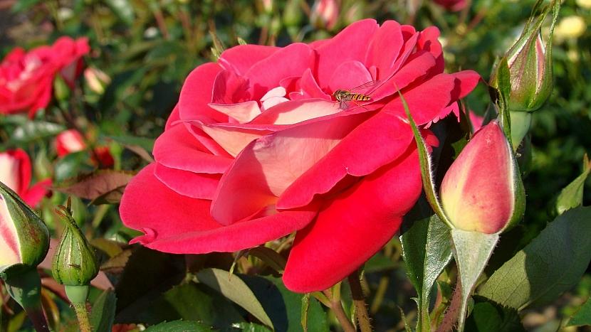 5 tipů na sázení růží: růže mnohokvětá Heimatmelodie