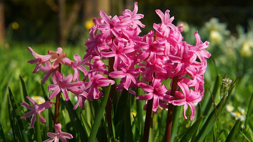 Dekorativní hyacinty na zahradě příjemně voní
