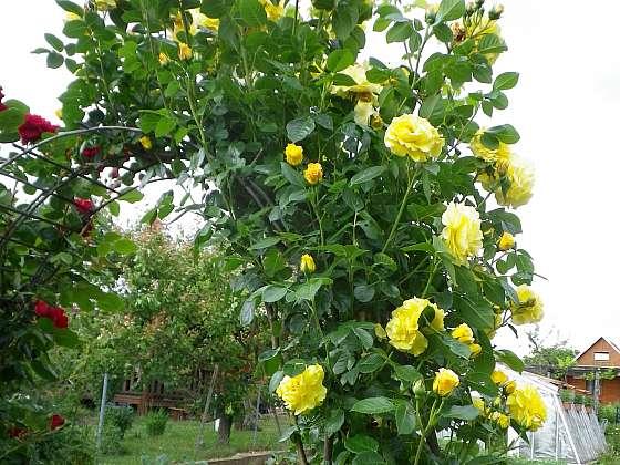 Chraňme růže před škůdci a houbovými chorobami (Zdroj: Ludmila Dušková)