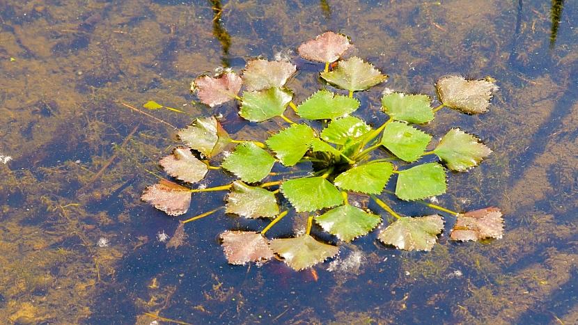 Kotvice plovoucí (Trapa natans) má ráda stojaté nebo mírně tekoucí vody a dostatek světla