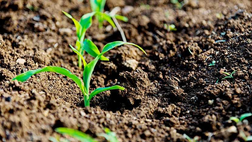 Kdy začít s výsevem teplomilné kukuřice cukrové? 3
