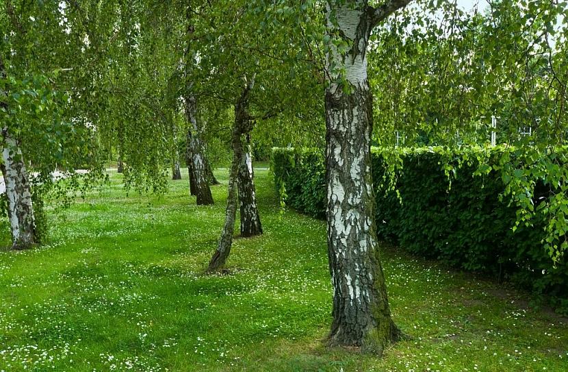 I zdánlivě zdravé stromy v sobě mohou skrývat nebezpečí nenadálého pádu