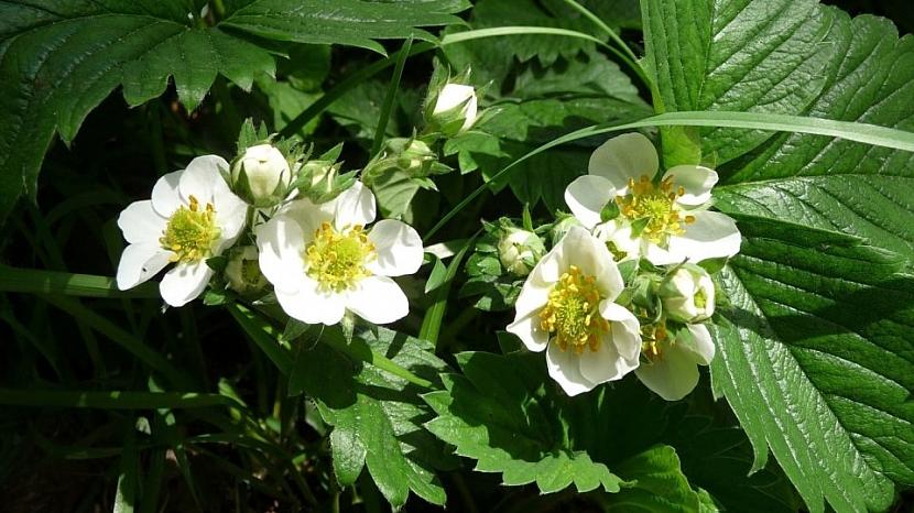 Předpověď počasí a zahrada: hlavní doba květu jahodníků připadá na tento víkend