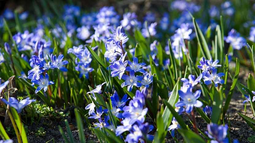 5 nejkrásnějších jarních cibulovin s modrými květy: ladonička (Chionodoxa)