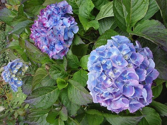 Hortenzie patří mezi jedny z nejkrásnějších rostlin (Zdroj: Jan Kopřiva)