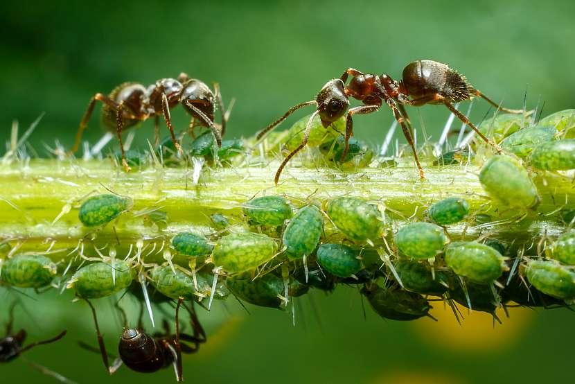 Mravenci se starají o mšice