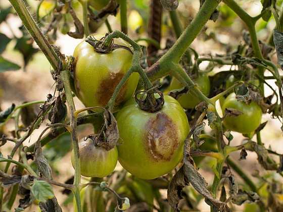 I rajčata trpí chorobami (Zdroj: Depositphotos)