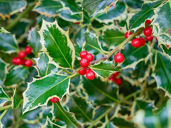 Cesmína se v některých zemích stala symbolem vánočních svátků, jak ji pěstovat? (Zdroj: Depositphotos (https://cz.depositphotos.com))