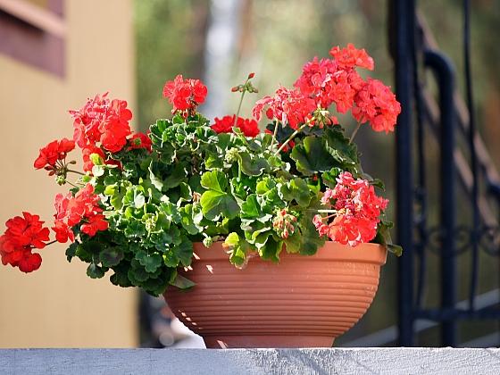 Řízkování a množení balkonových rostlin (Zdroj: Depositphotos)