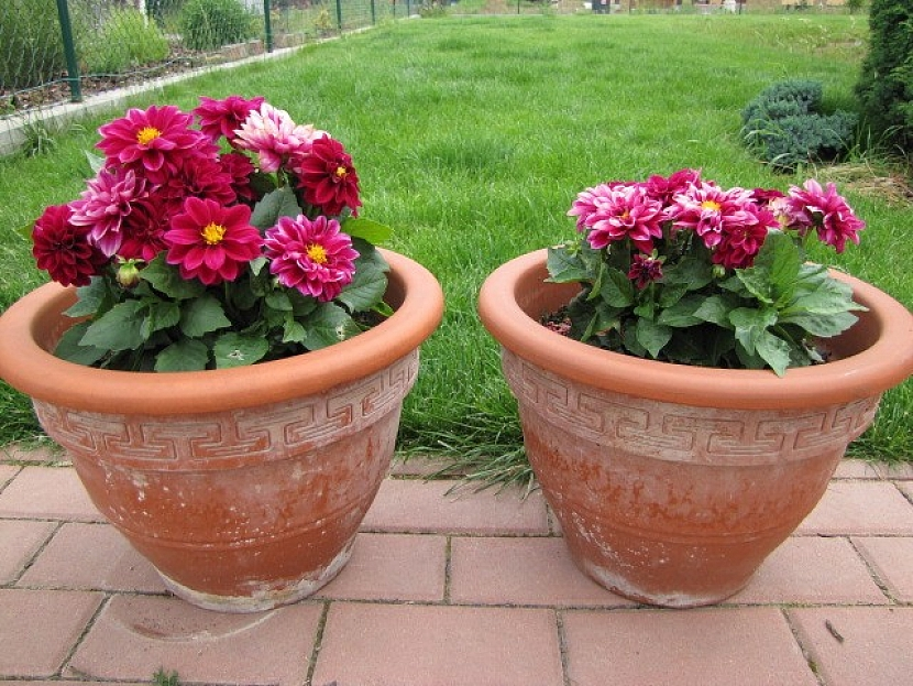 Rostlina při používání mykorhizního přípravku (vlevo)