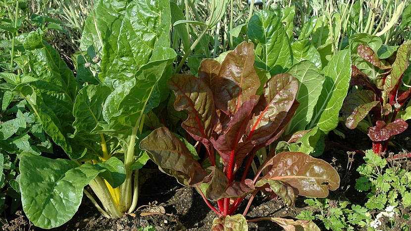 Mangold, směs barevných odrůd