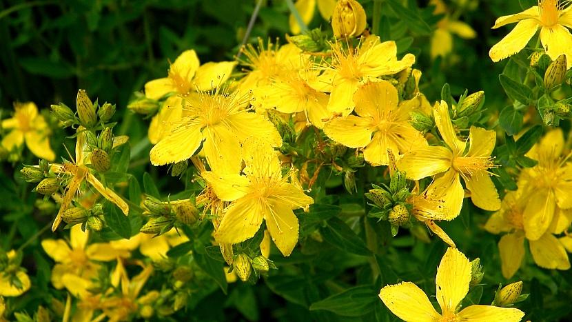 Třezalka tečkovaná: charakteristickým znakem je drobné, perforaci podobné tečkování květů