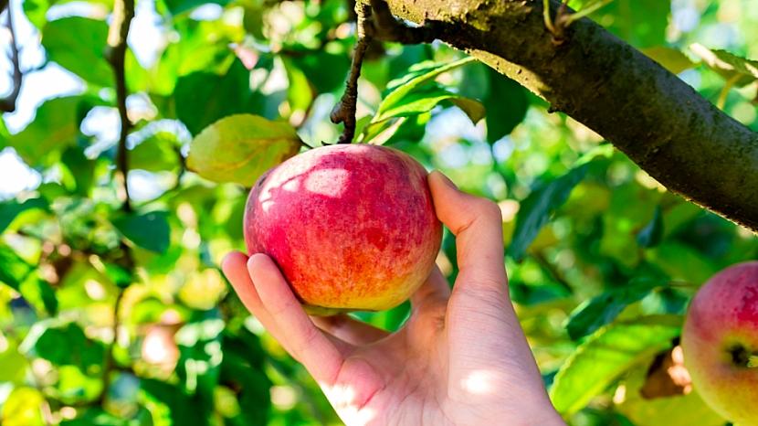Buďte lepší ve skladování jablek: plody, které chcete uchovat přes zimu, musí být trhaná se stopkou