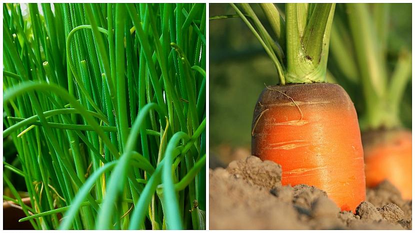 Pažitka pobřežní(Allium schoenoprasum) prospívá mrkvi