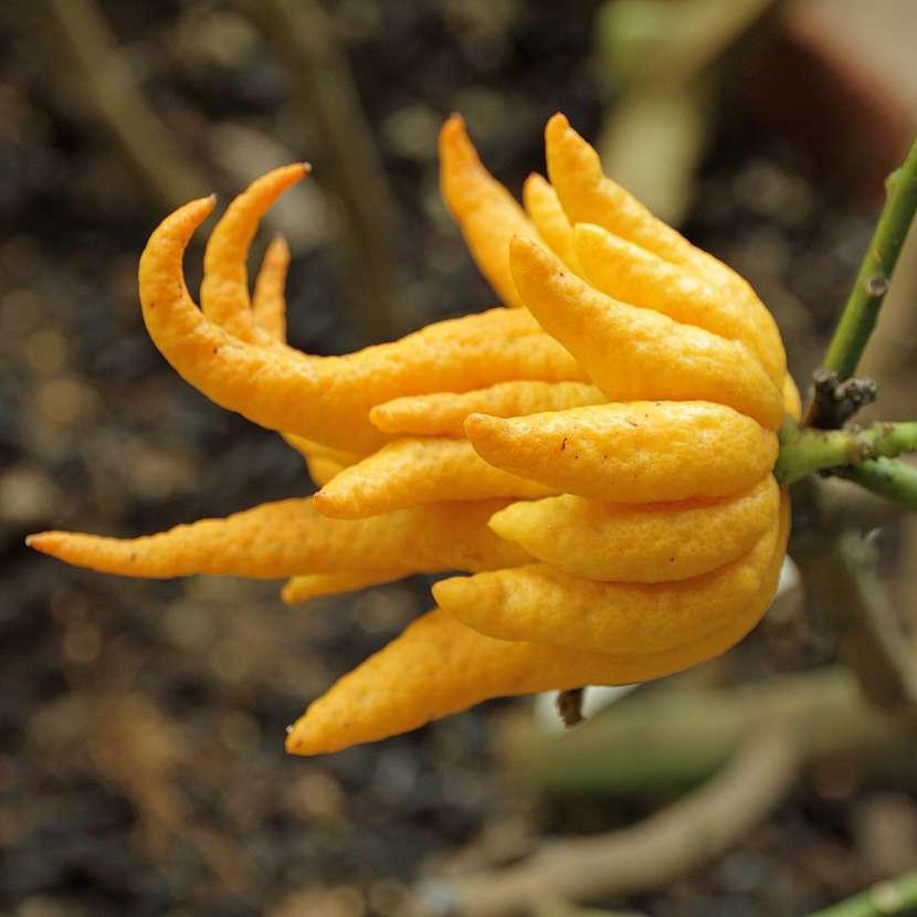 Citrus Buddhova ruka