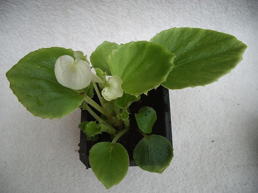 Begonia spfl. Olomouc F1
