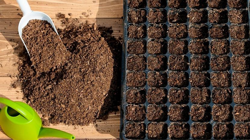 Pěstování begonie začíná v lednu: semínka vysejeme na povrch substrátu