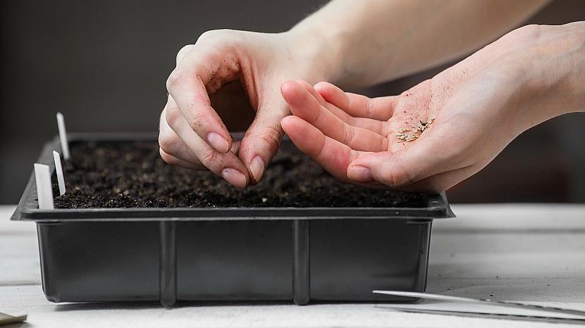 Pěstování rajčata: semena vysévejte 6 – 8 týdnů před předpokládaným termínem výsadby
