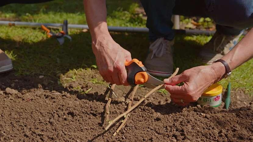 Řízky můžeme sázet přímo do půdy nebo do fóliovníku či skleníku