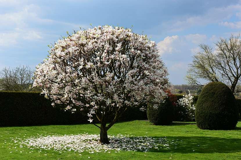 Magnolie mohou mít různou podobu. Lišit se mohou v tom, zda půjde o keř nebo o strom, ale také i v barvě květů