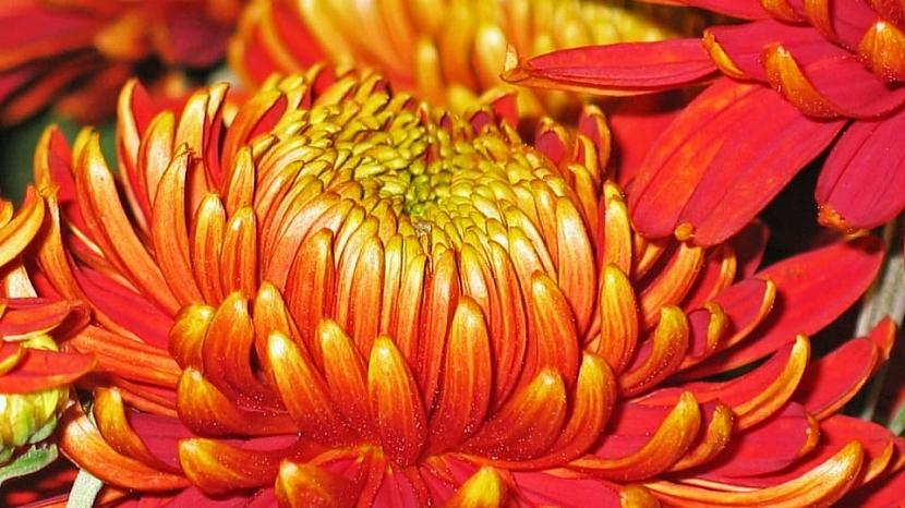 Velkokvětá chryzantéma