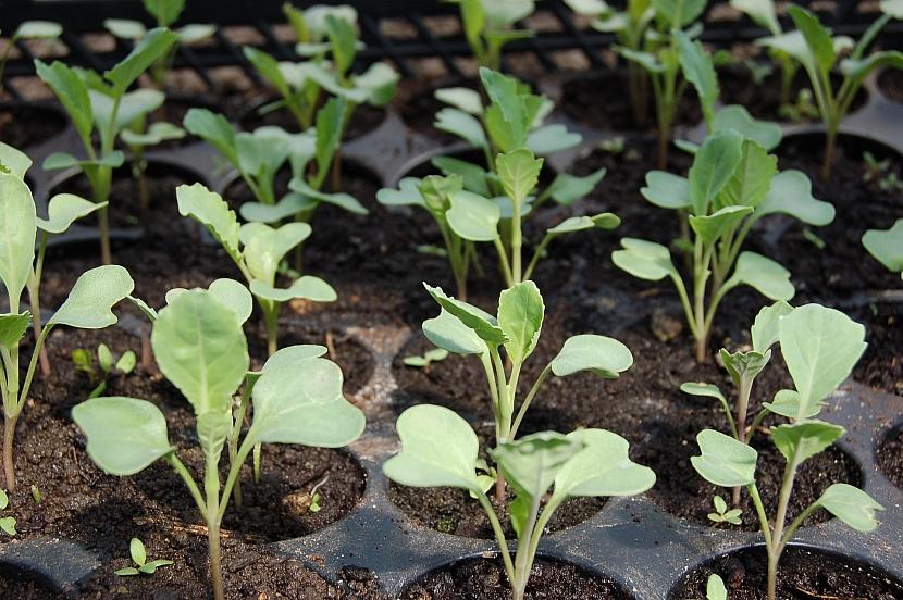 Předpěstovaná zelenina