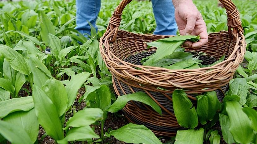Česnek medvědí (Allium ursinum): čas sběru je duben až květen