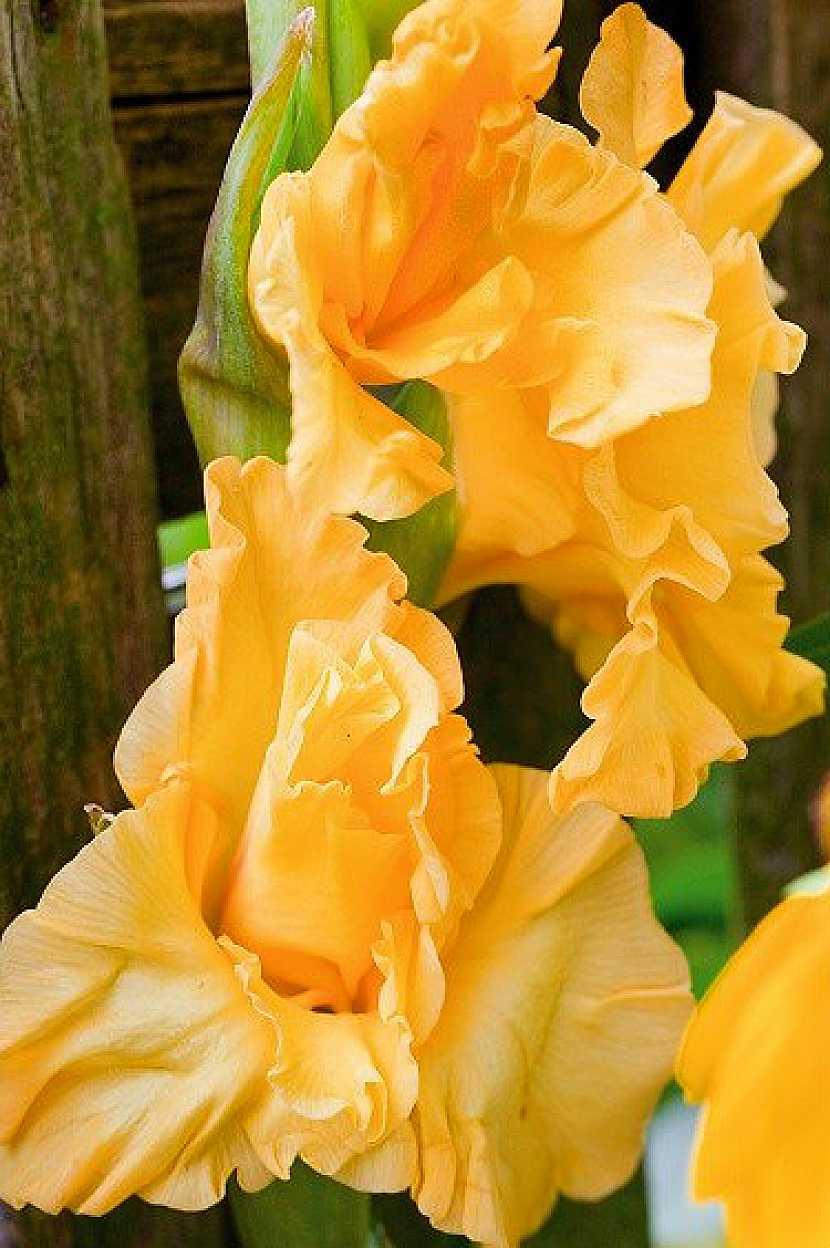 Kultivar Lemon Drop