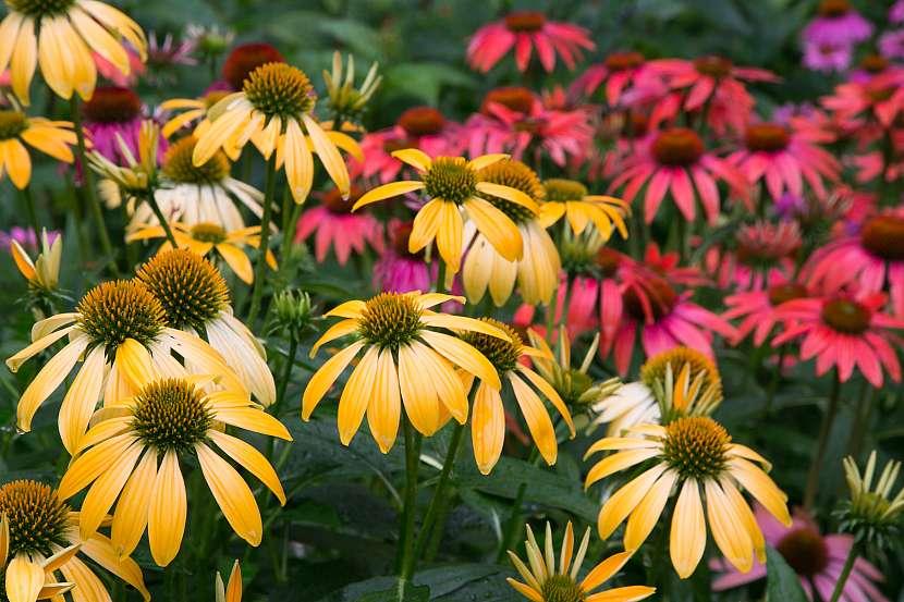 třapatka nachová v plném květu