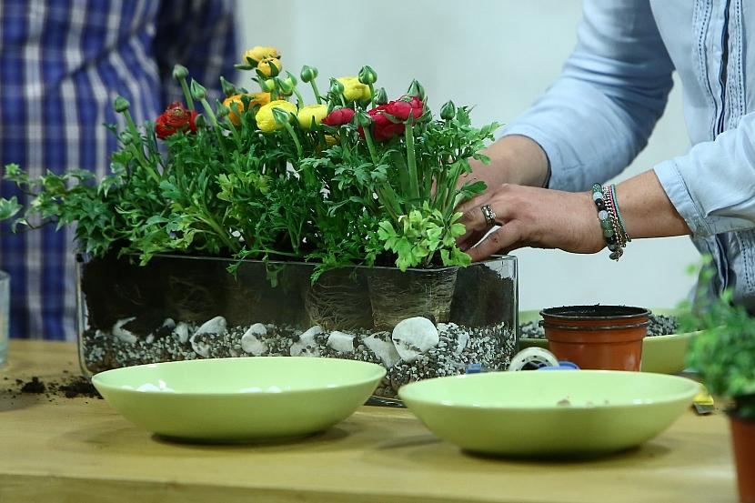 Umístíme pryskyřníky vyjmuté z květináčků
