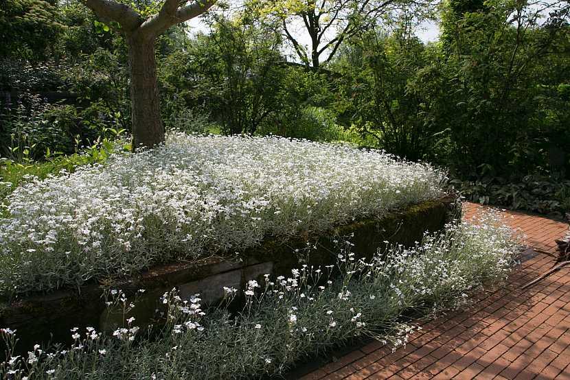 Bíle kvetoucí kobercové skalničky