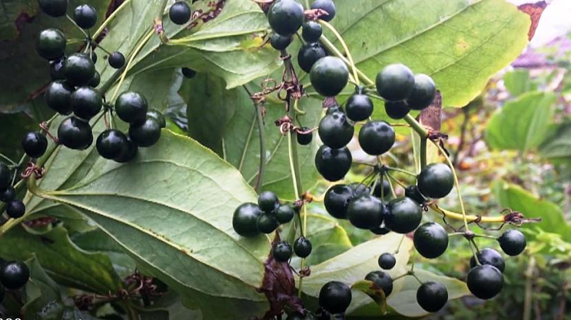 Tmavé plody přestupu