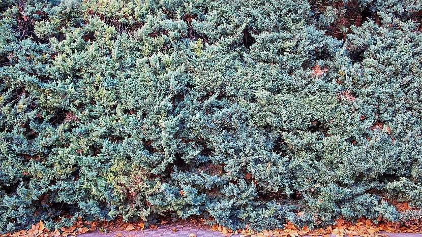 Rostliny vhodné do živého plotu: cypřiše (Cupressus)