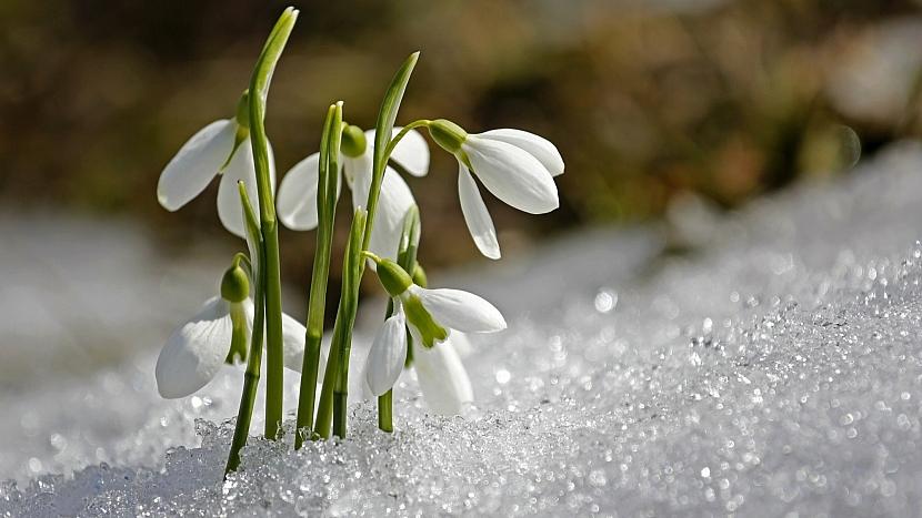 V únoru obvykle už rozkvetou první květy sněženek a bledulí