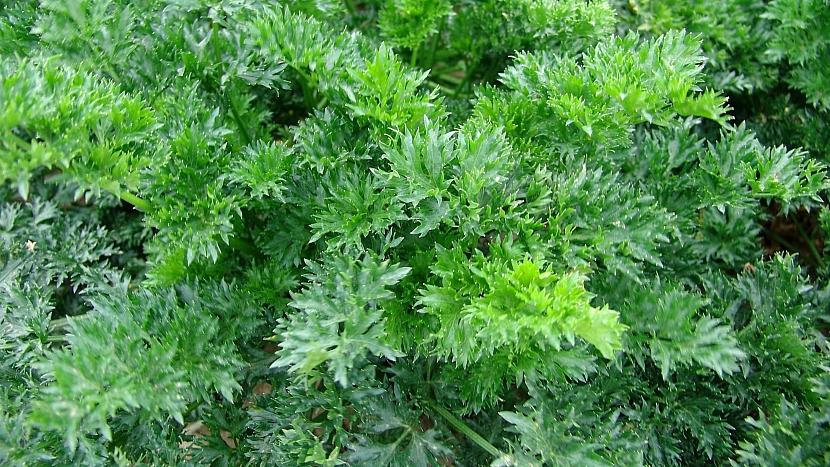 Celer listový (naťový), odrůda PIKANT
