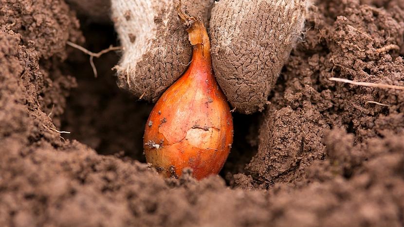 Jak si vypěstovat tu nejskvělejší cibuli ze sazečky 3