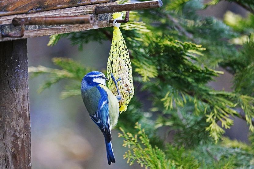 Krmítka pro ptáky: lojová koule v síťce může být nebezpečná, raději ji ze síťky vyndejte