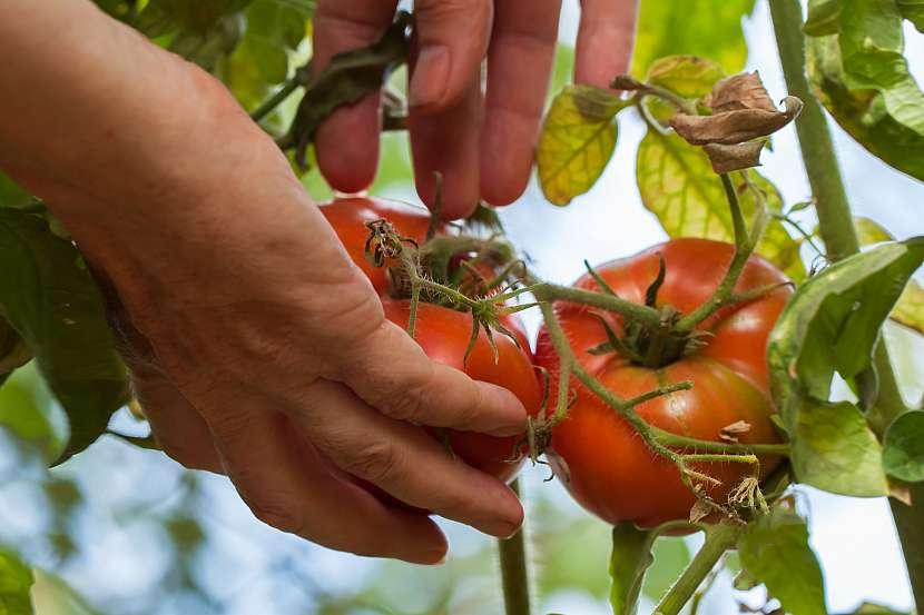 Před prvními mrazíky seberte zbytek rajčat a paprik