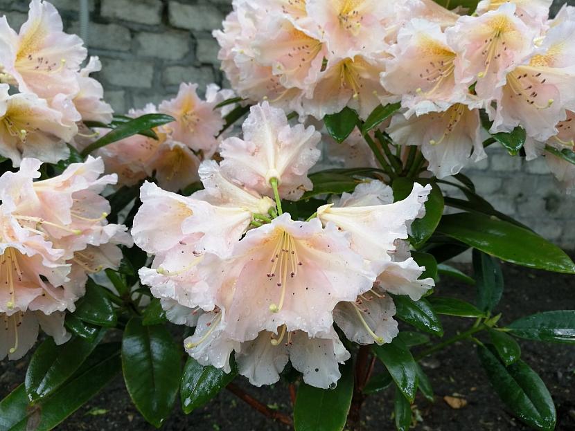 Rododendron 'Gloria'