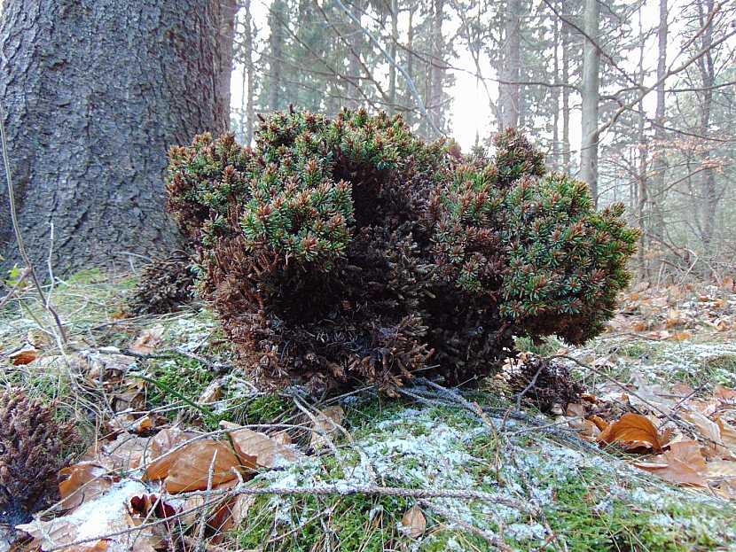 """Právě sebraný čarověník Picea abies """"Gal"""""""
