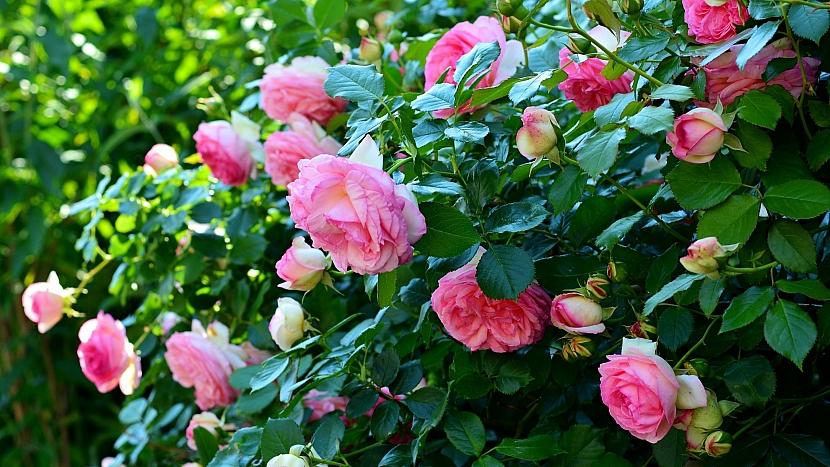 Předpověď počasí a zahrada: péče o růže ve vrcholném létě