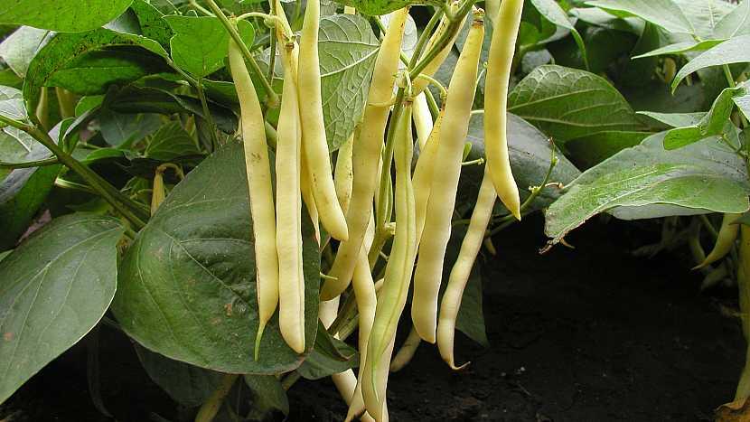 Keříčkové fazole: raná odrůda AIDAGOLD